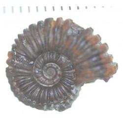 Colombiceras crassicostatum