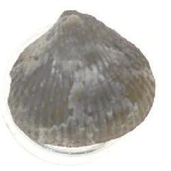 Acanthothiris spinosa