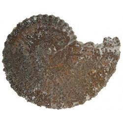 Dufrenoyia furcata ( D'Orbigny )