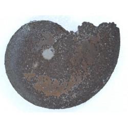 Aconeceras nisus (D'orbigny)