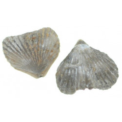 Lamellaerhynchia hauteriviensis