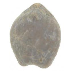 Dzirulina (Belothyris) pseudojurensis