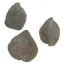 Cyclothyris difformis