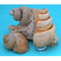 Gastropodes